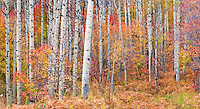 Autumn Forest, Utah