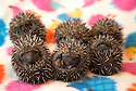 08/07/16<br /> ***WITH PICS***<br /> By Carolyn Bointon<br /> <br /> Six very cute baby hedgehogs, each one weighing less than 2oz, (55 grams), cuddle together for warmth inside a specially adapted incubator, after being rescued from almost certain death when their nest was accidentally destroyed.<br /> <br /> The half-dozen hoglets&rsquo; home, in a garden in Nottingham, was disturbed by landscape gardeners, which led to their mother abandoning the nest.<br /> <br /> But help was at hand from 55-year-old Heather Mee, who runs a hedgehog rescue centre in Derby, called Prickly Ball Lodge.<br /> <br /> The prickly babies, which are less than 10 days old, will require round-the-clock care, with four-hourly feeds, until they are self-sufficient in around three month&rsquo;s time.<br /> <br /> They will then be released back into the wild in a safe garden near to where they were found.<br /> <br /> ends.<br /> All Rights Reserved: F Stop Press Ltd. +44(0) 7557 980669 &nbsp; www.fstoppress.com