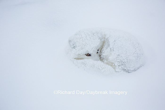 01863-01704 Arctic Fox (Alopex lagopus) in winter, Churchill Wildlife Management Area, Churchill, MB