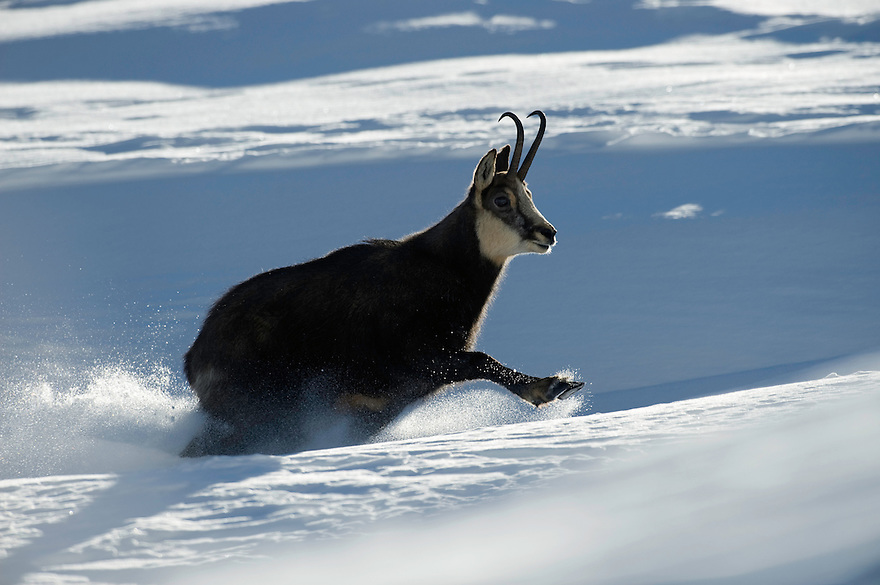 19.11.2008.Chamois (Rupicapra rupicapra). Running in snow..Gran Paradiso National Park, Italy