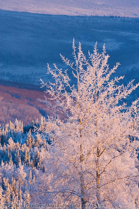 Frost covered balsam poplar tree, winter, Fairbanks, Alaska