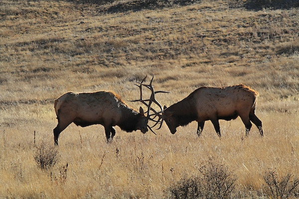 Two bull elk or wapiti (Cervus canadensis) fighting with antlers during the autumn rut in Rocky Mountain National Park, west of the town of Estes Park, Colorado, USA .  John leads private, wildlife photo tours throughout Colorado. Year-round.