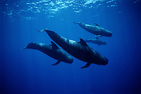 This family of short-finned pilot whales, Globicephala macrorhynchus, were encountered in open ocean several miles off the Big Island of Hawaii.