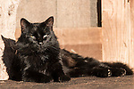 Brazoria County, Damon, Texas; a black cat sits on the welcome mat while resting against a wooden door in early morning sunlight
