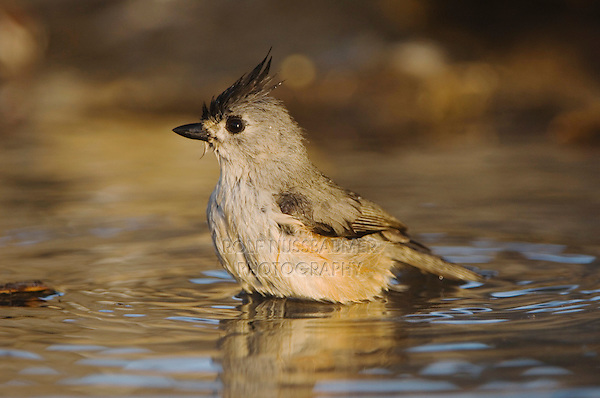 Black-crested Titmouse, Baeolophus atricristatus, adult bathing, Uvalde County, Hill Country, Texas, USA, April 2006