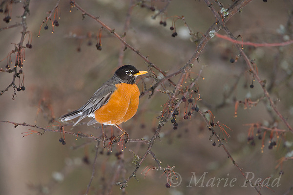 American Robin (Turdus migratorius) male, in cherry tree in early spring (April) with persisting fruit, New York, USA