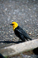 BIRDS<br /> Male Yellow Headed Blackbird<br /> Xanthocephalus, Grand Teton National Park