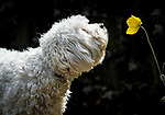 A dog sniffs a California Poppy by Stephen Miles