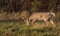 Young white-tailed buck smelling doe urine during the rut in northern Wisconsin.