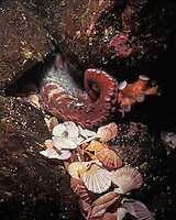 la10650. Pacific Giant Octopus (Enteroctopus dofleini). Scallop shells out in front of den are the remains from previous meals. British Columbia, Canada, Pacific Ocean..Photo Copyright © Brandon Cole. All rights reserved worldwide.  www.brandoncole.com..This photo is NOT free. It is NOT in the public domain. This photo is a Copyrighted Work, registered with the US Copyright Office. .Rights to reproduction of photograph granted only upon payment in full of agreed upon licensing fee. Any use of this photo prior to such payment is an infringement of copyright and punishable by fines up to  $150,000 USD...Brandon Cole.MARINE PHOTOGRAPHY.http://www.brandoncole.com.email: brandoncole@msn.com.4917 N. Boeing Rd..Spokane Valley, WA  99206  USA.tel: 509-535-3489