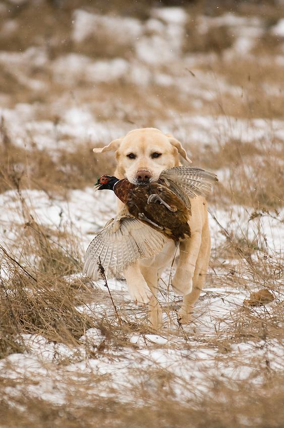 A male yellow Labrador retriever retrieves a pheasant while hunting in Michigan's Upper Peninsula on a game farm.