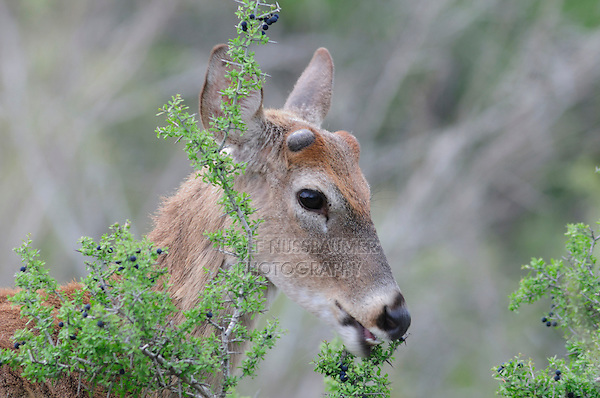 White-tailed Deer (Odocoileus virginianus), buck eating berries, Laredo, Webb County, South Texas, USA