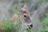 White-tailed Deer (Odocoileus virginianus), buck eating berries, Laredo, Webb County, South Texas, USA