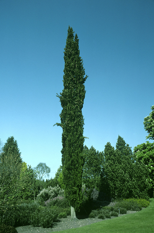 Italian Cypress Cupressus sempervirens (Cupressaceae) HEIGHT to 22m. Slender, upright evergreen with dense dark-green foliage. Usually columnar, but sometimes broadly pyramidal. BARK Grey-brown and ridged. BRANCHES Strongly upright and crowded, bearing clusters of shoots. Numerous young shoots arise from the leading shoots. LEAVES Dark-green, scale-like, no more than 1mm long; unscented. REPRODUCTIVE PARTS Small greenish-yellow male cones up to 8mm across grow on tips of side-shoots. Elliptical, yellowish-grey female cones, up to 4cm across, grow near ends of the shoots; they ripen brown. STATUS AND DISTRIBUTION Native of mountain slopes in S Europe and Balkans, east to Iran. Most wild trees are spreading, but elegant columnar form is widely planted elsewhere.