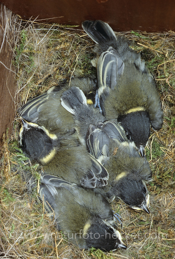 Kohlmeise, Küken im Nest, Kohl-Meise, Meise, Parus major, great tit
