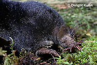 MB01-089z  Star-nosed Mole - adult searching for food - Condylura cristata