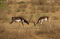A rare sight, two Black Bucks in a very serious fight. The fight went on for sometime creating  some great photo opportunities.<br /> The Black Buck is an highly endangered species. Poaching and habitat destruction has seriously affected the population of the Black Bucks. It is usually haunted for its skin, flesh and also for sports. It is also haunted for meat. Black Buck also holds the cultural importance in Hinduism and Buddhism. In the 19th and 20th century and the Black Buck was the most haunted animal all over India.<br /> <br /> The blackbuck (Antilope cervicapra)<br /> <br /> According to the Hindu Mythology blackbuck or Krishna Jinka is considered as the vehicle (yahana) of the Moon-god Chandrama. According to the Garuda Purana of Hindu mythology, Krishna Jinka bestows prosperity in the areas where they live.