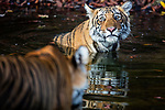 India, Rajasthan, Ranthambhore National Park, Bengal tigress approaching cub in waterhole