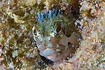 Acanthemblemaria medusa, Medusa blenny, Bonaire