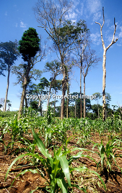 COCONGO35035.Country. Congo. Kikwit. Maize field with trees in the back. Agriculture, farming..©Per-Anders Petterson/iAfrika Photos