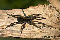 1006-0901  Wolf Spider, Hogna spp. [formerly Lycosa spp.]  © David Kuhn/Dwight Kuhn Photography