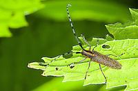 Distelbock, Scheckhorn-Distelbock, Scheckhornbock, Linienhalsige Halmbock, Nesselbock, Agapanthia villosoviridescens, thistle longhorn beetle, Golden-bloomed Grey Longhorn