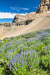 Summer wild flowers in the Mount timpanogos wilderness.