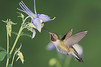 Broad-tailed Hummingbird, Selasphorus platycercus,male in flight feeding on Blue Columbine(Aquilegia coerulea),Rocky Mountain National Park, Colorado, USA, June 2007