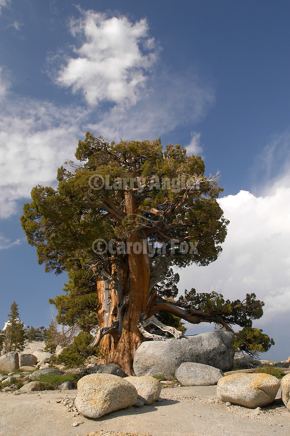 Juniper, clouds, Olmstead Point, Yosemite National park
