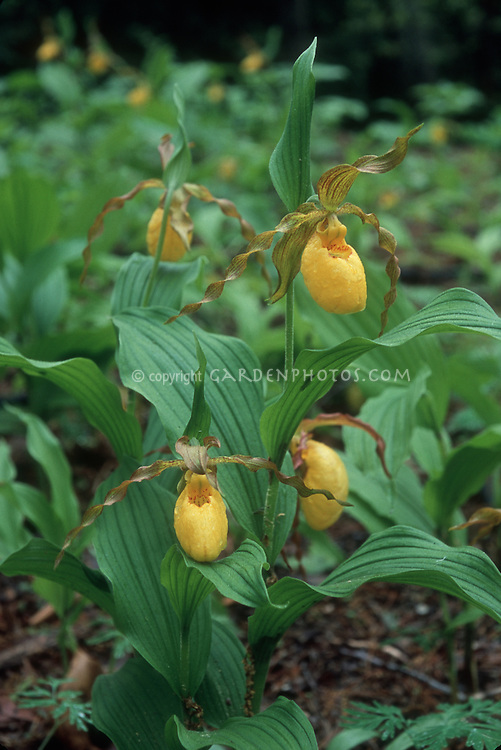 Cypripedium parviflorum var pubescens Ladyslipper Orchid showing entire plants and several flowers, growing in garden soil
