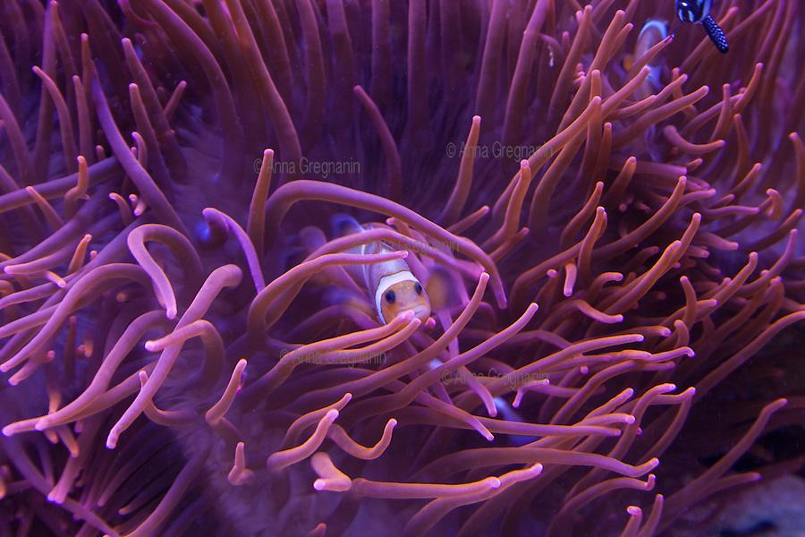 Genova,Acquario: Pesce Pagliaccio