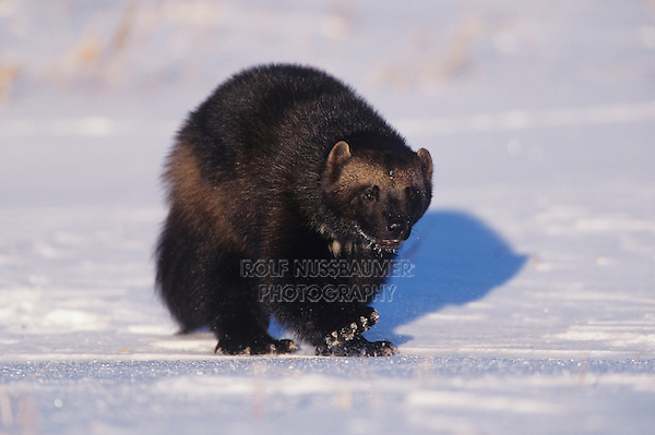 Wolverine (Gulo gulo),adult walking, captive, Alaska, USA