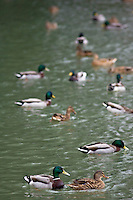Mallard ducks in River Windrush, Burford, UK. Feral birds may be at risk from Avian Flu bird flu virus