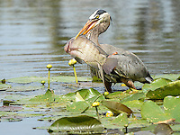 March 22, 2014 - Orlando, FL, U.S: A Great Blue Heron (Ardea herodias) catches a fish near the 6th green during third round golf action of the Arnold Palmer Invitational presented by Mastercard held at Arnold Palmer's Bay Hill Club & Lodge in Orlando, FL