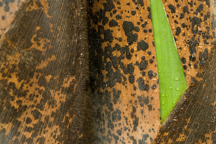 Detail of Moso bamboo shoots (young bamboo culms) in the rain.