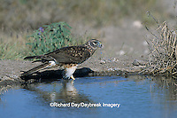 00803-00814 Northern Harrier (Circus cyaneus) female drinking at water Starr Co.  TX