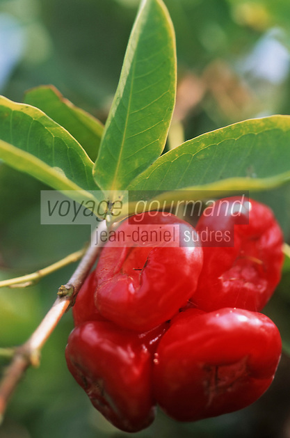 Thailande/Env de Bangkok: Près de Tha Kha, pommes d'amour dans les plantations à Ban-Ama