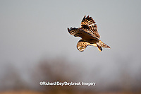 01113-009.05 Short-eared Owl (Asio flammeus) in flight, Prairie Ridge State Natural Area, Marion Co., IL