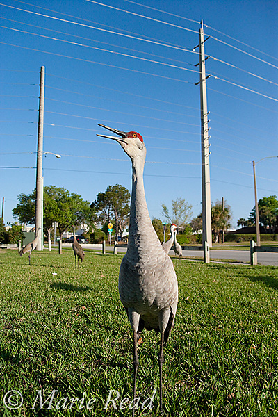 Sandhill Cranes (Grus canadensis), group near a city street, Kissimmee, Florida, USA