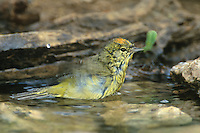 592218001 a wild orange-crowned warbler vermivora celata bathes in a small pool in the rio grande valley in south texas