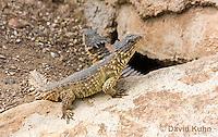 0521-1009  Pair of Sungazer Lizards Sunning Outside Burrow (Giant Girdled Lizard or Giant Zonure), Cordylus giganteus  © David Kuhn/Dwight Kuhn Photography