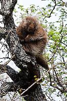 Porcupine in Oak Tree
