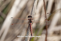 06653-00108 Variegated Meadowhawk (Sympetrum corruptum) male near wetland, Marion Co., IL