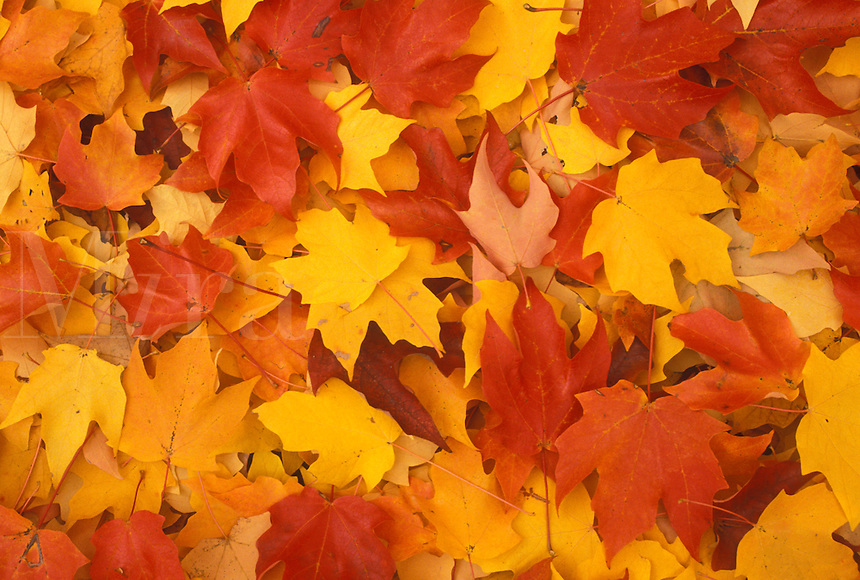 AJ4506, leaves, fall, A close-up of red yellow and orange maple leaves lying on the ground.