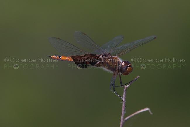 Carolina Saddlebags (Tramea carolina) Dragonfly - Female, Lake Kissimmee State Park, Lake Wales, Florida