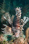 Gardens of the Queen, Cuba; a Common Lionfish hovering over a Caribbean coral reef