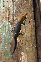 Yellow-headed Gecko, Gonatodes albogularis, male on tree trunk, Carara Biological Reserve, Central Pacific Coast, Costa Rica, Central America
