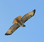 Red-tailed Hawk for JLSHP