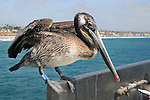 A Pelican, perched near a fish cleaning station along the Oceanside Pier, on visit to Oceanside, CA, on Wednesday, April 27, 2016. Photo by Jim Peppler. Copyright Jim Peppler  2016.