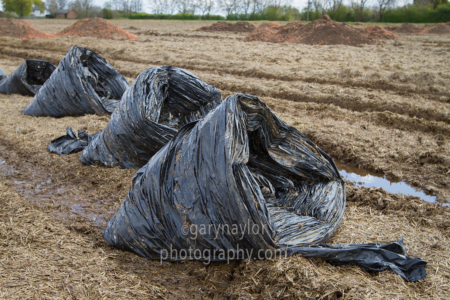 Black plastic crop cover removed from a carrot crop, rolled ready for recyling - April